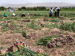 برداشت 850 تن سیر خشک از مزارع شهرستان بناب