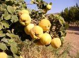 آغاز برداشت به از ۸۷۴ هکتار باغهای شهرستان نطنز