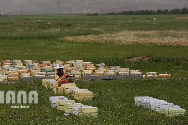 ریزگردها تولید عسل در خوزستان را کاهش داد