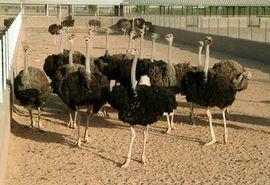 صنعت سودآور شترمرغ پروری در آذربایجان غربی نیازمند حمایت است