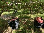 پیش بینی تولید 200 هزار تن سیب در سپیدان