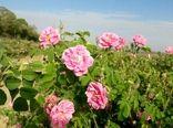 تولید بیش از 3 تن انواع گیاهان دارویی در شهرستان البرز