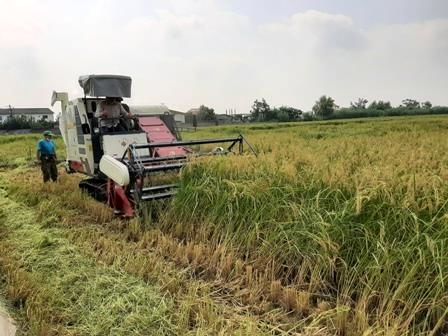 آماده باش 573 دستگاه کمباین برداشت برنج در محمودآباد/ برداشت مکانیزه 95 درصدی