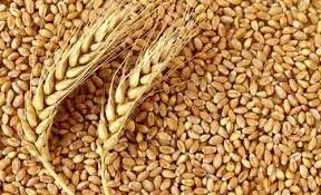 28 مرکز خرید تضمینی گندم در استان سمنان پیشبینیشده است