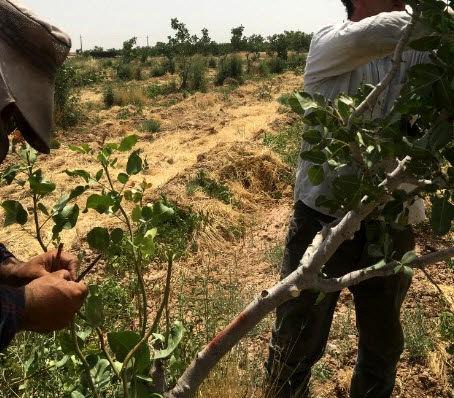 احیای درختان پسته با سرشاخهکاری فراهم میشود