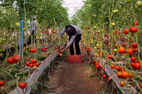 پرداخت یارانه به متقاضیان گلخانه درگزین