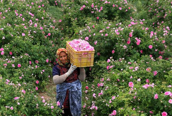 توسعه کاشت گل محمدی در ابرکوه رو به افزایش است