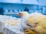 آنفلوآنزا 90 درصد واحدهای مرغداری قم را درگیر کرد