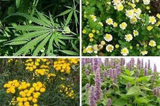 افزایش 50 درصدی سطح زیر کشت گیاهان دارویی در سپیدان