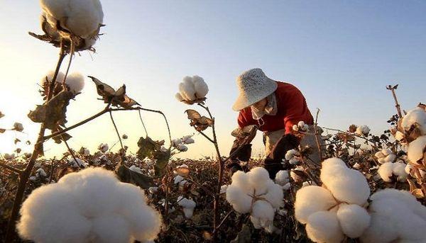 اجرای کشتهای جایگزین در بیش از هزار هکتار از اراضی کشاورزی