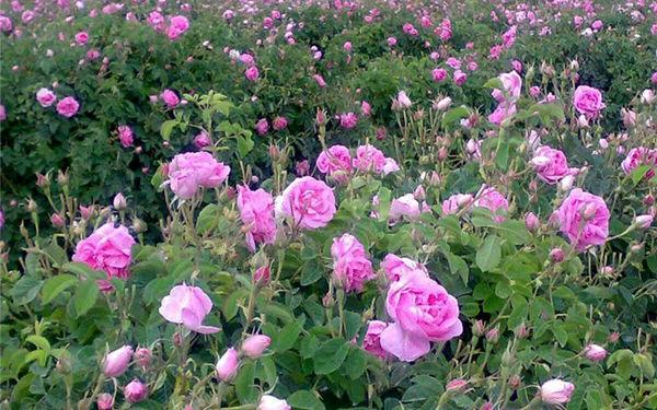 6 هکتارباغ گل محمدی درشهرستان نیمروزاحداث شد
