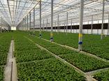ایجاد  ۱۰۰ هکتار فضای گلخانهای در شهرستان سامان
