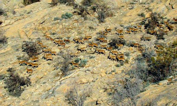 بیش از ۵۵۰۰ دام اهلی از پارک ملی توران خارج شدند