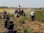 پیش بینی تولید بیش از 150 هزار تن سیب زمینی در نمین
