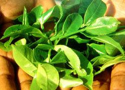 تولید سالانه 17 هزار تن برگ چای در شفت