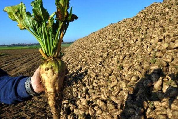 افزایش قیمت خرید تضمینی چغندرقند در سال زراعی جاری