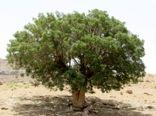 درخت بنه سرمایه ای عظیم در ملکشاهی