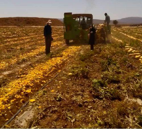 3800 تن تخم کدو در آباده تولید می شود