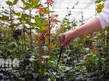 تولید سالانه بیش از یک میلیون شاخه گل رز هلندی