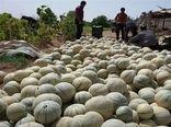 آغاز برداشت طالبی در 1100هکتار از مزارع  ورامین