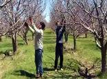 هرس درختان سیب در ۱۰ هزار هکتار از باغهای شهرستان مراغه اجرا می شود