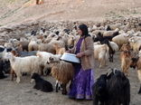تولید سالانه 35 هزارتن شیر و لبنیات توسط عشایر چهارمحال و بختیاری