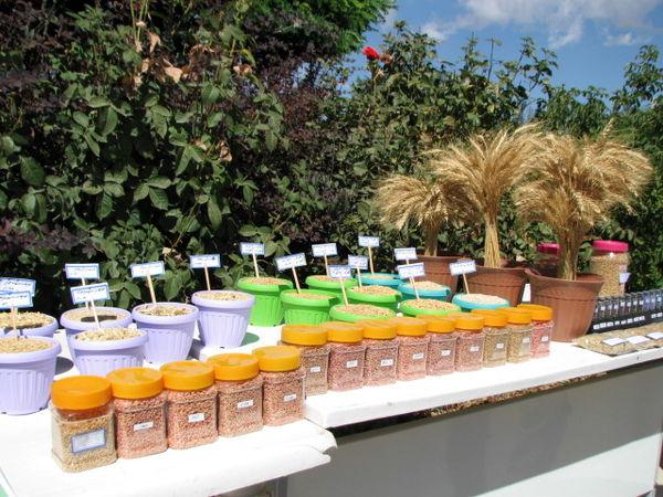 ضدعفونی ۹۰ درصد بذر مصرفی گندم و جو کشاورزان  استان قزوین