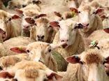 ماهانه حدود 13 هزار تن کنسانتره بین دامداران خراسان شمالی توزیع میشود