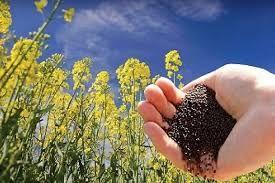کاهش بذر مصرفی کلزا در کازرون