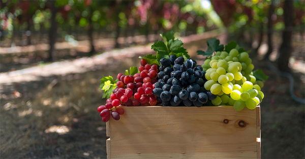 تولید بیش از 170 تن انگور در شهرستان خلخال