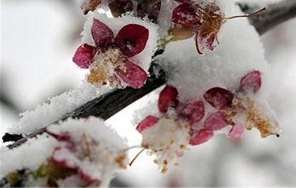 خسارت ۶۰ تا ۱۰۰ درصدی سرما به درختان میوه پیشرس استان البرز