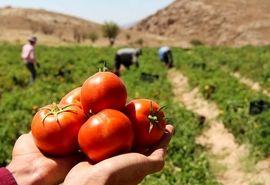 اختلاف ۱۰ هزار تومانی از تولید تا بازار گوجه فرنگی/ گرانفروشی را پای کشاورزان ننویسید