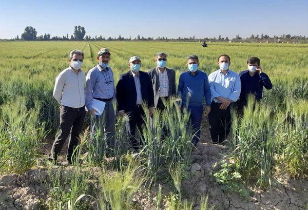 بازدید معاون مجری طرح گندم کشور از مزارع خوزستان