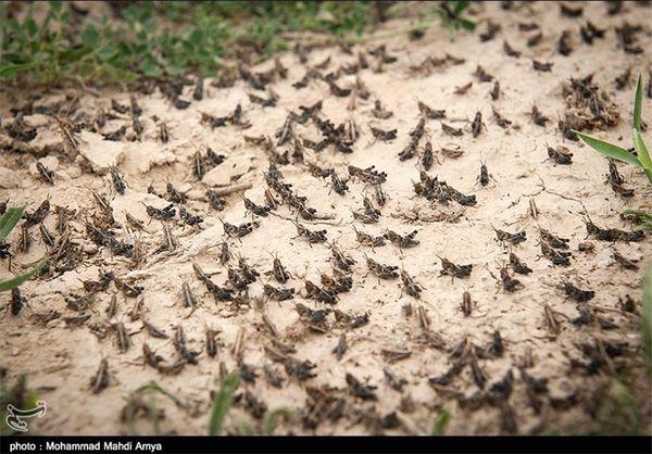 پیشبینی مبارزه با آفت ملخ در مزارع خراسان شمالی در سطح 8 هزار هکتار