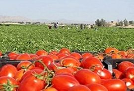 تولید  8000 تن گوجه فرنگی از مزارع فیروزآباد