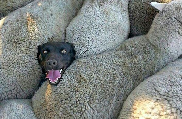 غوغای عکس جالب کشاورز استرالیایی از سگش در اینترنت