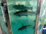 صدور و ساماندهی مجوزهای عرضه ماهی زنده در سطح استان آذربایجان شرقی
