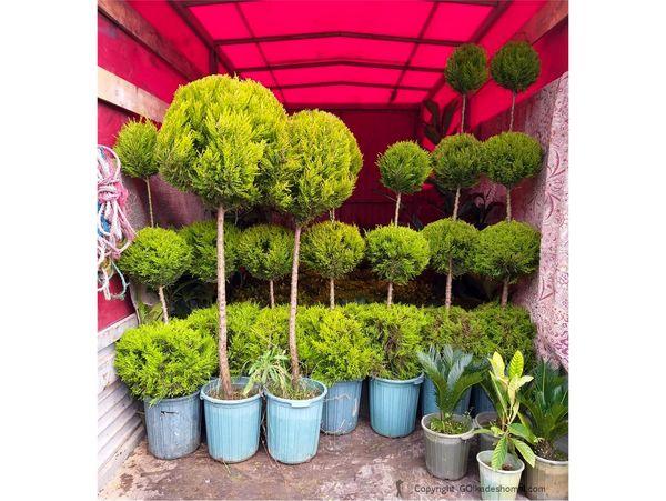 700 گلدان درختچه زینتی از نوشهر صادر شد