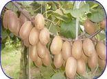 صادرات 500 تن کیوی از نوشهر به خارج از کشور