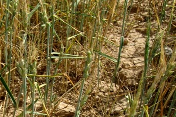کاهش بارندگی به ۴۰ درصد مزارع گندم استان بوشهر خسارت وارد کرد