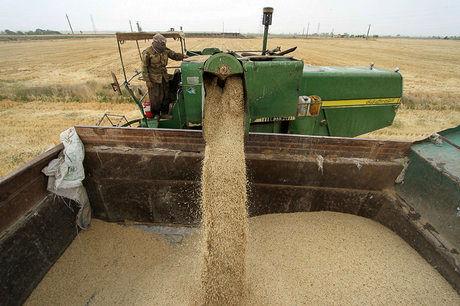 تولید محصول جو در یزد ۱۰ درصد کاهش دارد