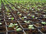 تولید نشاء با رونق کشت گیاهان دارویی در شهرستان ویژه مراغه