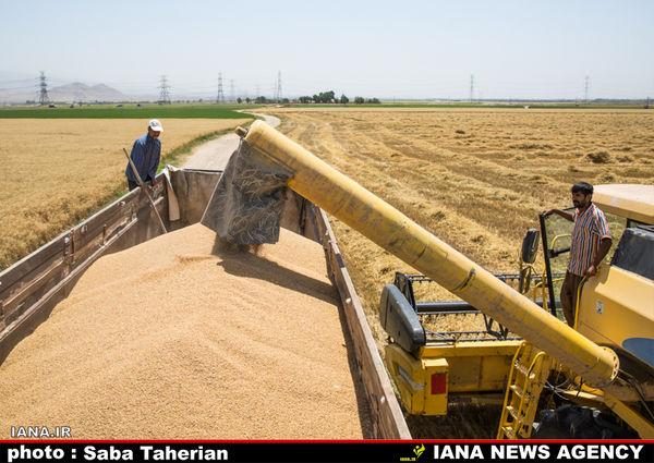 گندم به قیمت 1600 تومان خریداری میشود