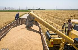 خرید تضمینی 62  هزار تن گندم از کشاورزان همدانی