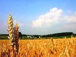 آغاز برداشت گندم از مزارع شهرستان ریگان