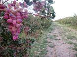 بیش از 19 هزار تن پسته از باغات شهرستان کرمان برداشت می شود