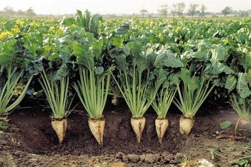 حمایت جهاد کشاورزی از کشت چغندرقند
