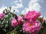 برداشت 40 تن گل محمدی از 20 هکتار گلستانهای شهرستان زرند