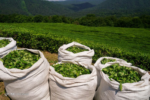 خرید برگ سبز چای از ۹۸ هزار تن گذشت / ۲۶ هزار تن چای خشک مورد نیاز از تولید داخل تأمین میشود