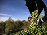 ۱۸ هزار تن زیتون از باغات استان قزوین برداشت میشود